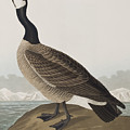 Hutchins's Barnacle Goose by John James Audubon