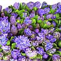 Hyacinth 3 by Carol Cavalaris