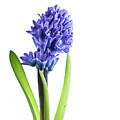 Hyacinth by Kelly Merlini