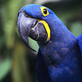 Hyacinth Macaw by Greg Vaughn - Printscapes