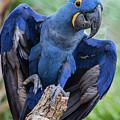 Hyacinth Macaw by Jeff Breiman