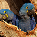 Hyacinth Macaw Pair In Nest by Aivar Mikko