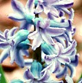Hyacinth Photo Manipulation  by David Lane