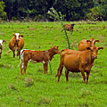 Hybrid Cattle On The Deseret Ranch In East Central Florida by Allan  Hughes