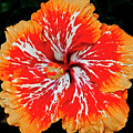 Hybrid Hibiscus II Maui Hawaii by Jim Cazel