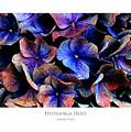 Hydranga Hues by Julian Perry