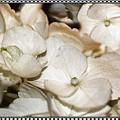 Hydrangea Blossom Framed by Andrea Lazar