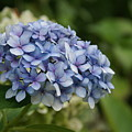 Hydrangea Blue Iv by Jacqueline Russell