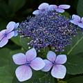 Hydrangea Blue Xi by Jacqueline Russell
