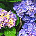 Hydrangea Blues by Colleen Kammerer