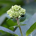 Hydrangea Bud by Jocelyn Lawton