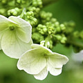 Hydrangea Buds Visit Www.angeliniphoto.com For More by Mary Angelini