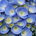 Hydrangea Closeup by Gaspar Avila