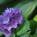 Hydrangea by Donna Bentley