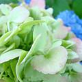 Hydrangea Flowers Art Prints Floral Gardens Gliclee Baslee Troutman by Baslee Troutman