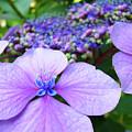 Hydrangea Flowers Art Prints Hydrangea Garden Giclee Art Prints Baslee Troutman by Baslee Troutman