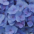 Hydrangea Flowers by Jerry McElroy
