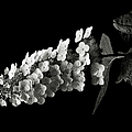 Hydrangea In Black And White by Endre Balogh