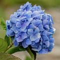 #hydrangea In Blue by E Faithe Lester