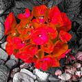Hydrangea In Carmine by Jennifer Kohler