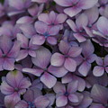 Hydrangea In Lavender 1 by Jacqueline Russell