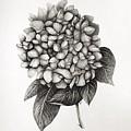 Hydrangea by Jaime Violano
