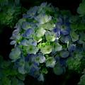 Hydrangea - Flowers by Kathleen Sartoris