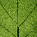 Hydrangea Leaf by Steve Gadomski