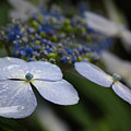 Hydrangea Macrophylla by Juergen Roth