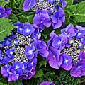 Hydrangea, Macrophylla Teller by Kevin Richardson