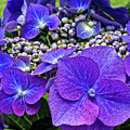 Hydrangea Plant by Kevin Richardson