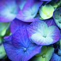 Hydrangea - Purple And Green by Geoffrey Moore