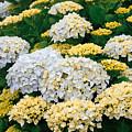 Hydrangeas Blooming by Gaspar Avila