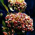 Hydrangeas by Carolyn Epperly