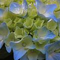 Hydrangeas Flowers by Juergen Roth