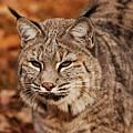 I Am One Good Looking Bobcat by Lori Tambakis