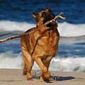 I Got It - German Shepherd Dog by Angie Tirado