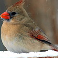 I Just Can't Resist The Beauty Of A Cardinal In The Snow by Kala King