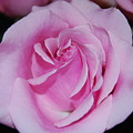 I Just Love Pink  by Michael L Gentile