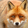 I See You - Red Fox Spotting Me by Roeselien Raimond