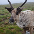 I Think It Might Reindeer by Graham Harding