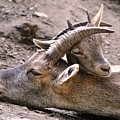 Ibex Mother And Son by Valerio Poccobelli