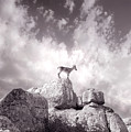 Ibex -the Wild Mountain Goats In The El Torcal Mountains Spain by Mal Bray