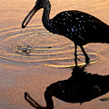 Ibis At Dusk by David Lee Thompson