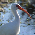 Ibis Blanco by Lenin Caraballo