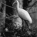 Ibis In Black And White  by Donald Hazlett