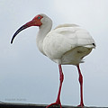 Ibis In The Morning by DigiArt Diaries by Vicky B Fuller