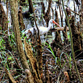 Ibis In The Swamp by John Trommer