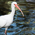 Ibis In The Swamp by Kenneth Albin