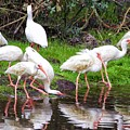 Ibis Reflections by Alice Gipson